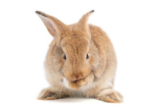 Les oreilles dressées de lapin brun rouge mignon et poilu sont assis