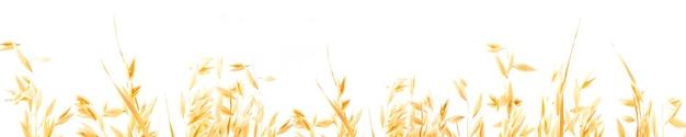 Oreilles de plantes mûres dorées d'avoine sur fond blanc, isolées de l'arrière-plan