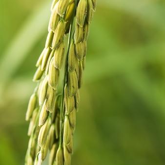 Oreilles de riz au jasmin dans une usine de riz asiatique
