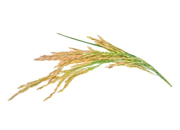 Oreilles de riz au jasmin thaïlandais isolés