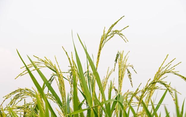 Oreilles de riz dans la province de phi chit