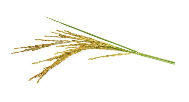 Oreilles de riz isolé isolé sur mur blanc