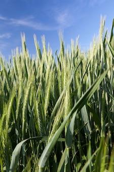 Orge verte utilisée pour nourrir les animaux de la ferme, photo en gros plan