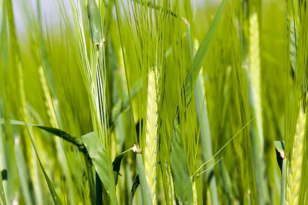 Orge Verte Photo Premium
