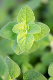Origan frais dans le jardin.herbes dans la nature.les herbes sont utilisées comme nourriture.