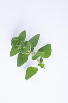 Origan vert sur fond blanc avec espace copie origan frais sur une scène blanche
