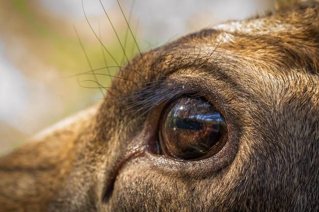 Orignal ou wapiti européen alces alces œil féminin se bouchent