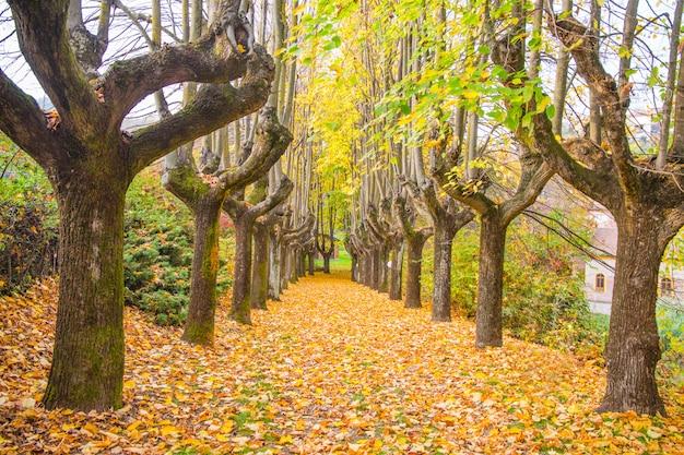 Ormes alignés dans la route de la maison privée à l'automne avec le feuillage en italie, europe
