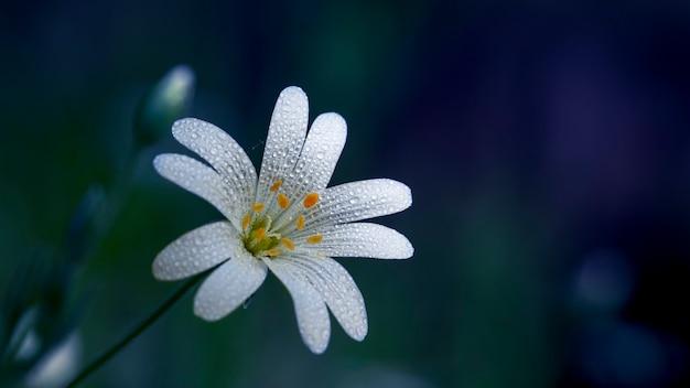 Ornithogalum est une fleur blanche qui fleurit dans les forêts de feuillus au début du printemps.