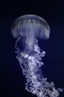 Ortie d'amérique du sud nageant dans l'eau profonde