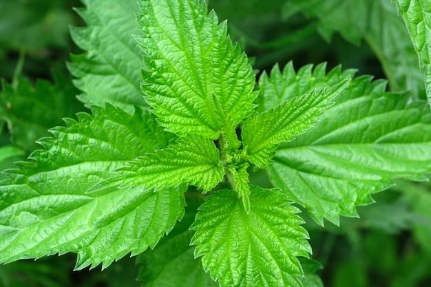 Ortie aux plantes médicinales