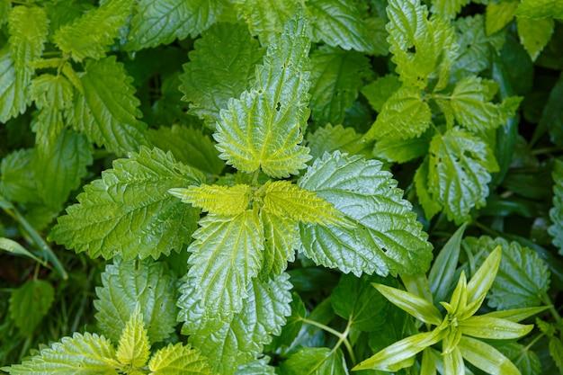 Ortie verte dans le jardin, texture vert