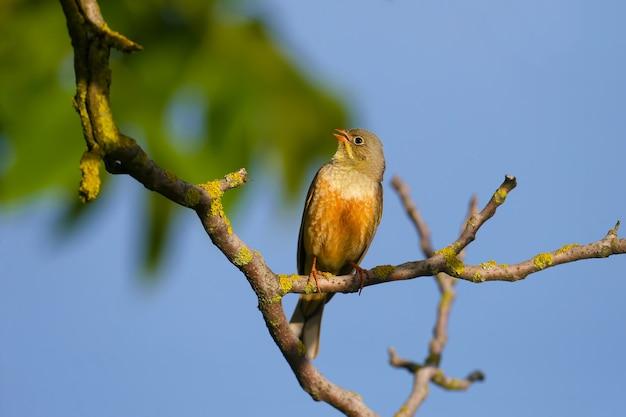 Ortolan mâle (emberiza hortulana) en plumage nuptial, gros plan, est assis sur une branche