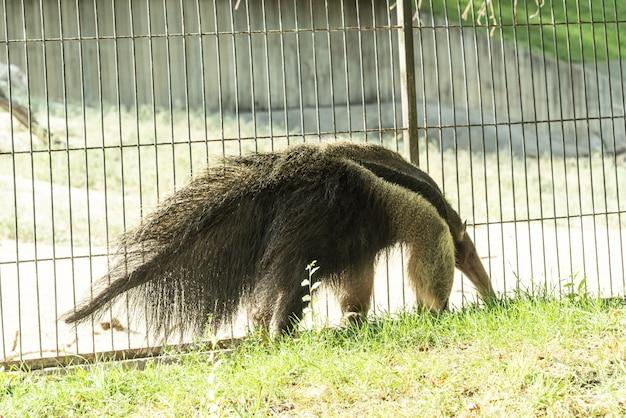 Les oryctéropes sont élevés en quasi-captivité dans les zoos occidentaux.