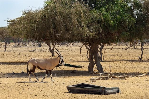 Oryx d'arabie ou oryx blanc (oryx leucoryx) en réserve