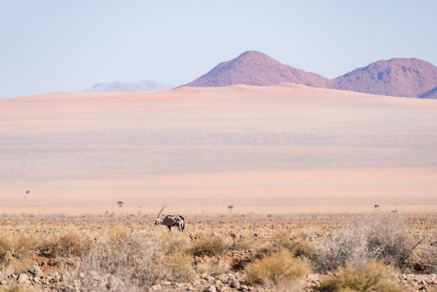 Oryx broutant dans le désert du namib, parc national du namib naukluft, namibie, afrique