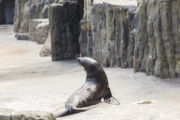 Otarie à fourrure mignon au concept de zoo de la vie animale dans la nature et les réserves naturelles de l'environnement