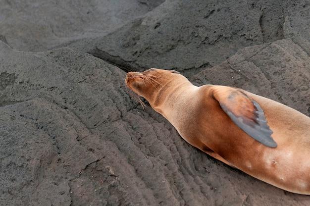 Otarie à fourrure, puerto egas, île santiago, îles galapagos, équateur