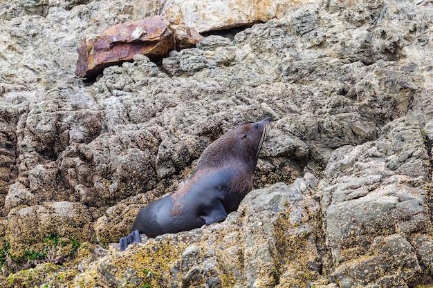 Otarie à fourrure sur le rocher. kaikoura, île du sud. nouvelle-zélande