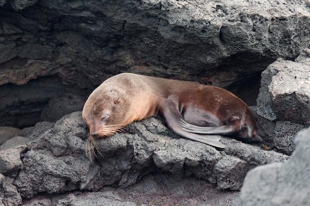Otarie à fourrure se reposant sur le rocher, puerto egas, île de santiago, îles galapagos, équateur