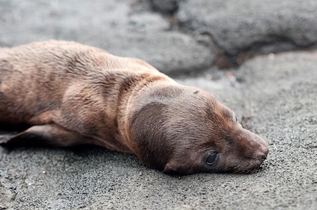 Otarie à fourrure se trouvant sur le rocher, puerto egas, île de santiago, îles galapagos, équateur