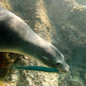 Otarie de galapagos (zalophus californianus wollebacki) a attrapé un poisson dans sa gueule, île bartolome, îles galapagos, équateur