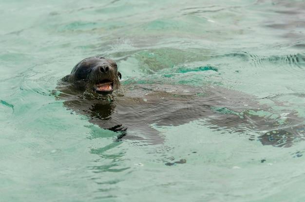 Otarie des galapagos (zalophus californianus wollebacki) dans l'eau avec une prise, punta suarez, île d'espanola, îles galapagos, équateur