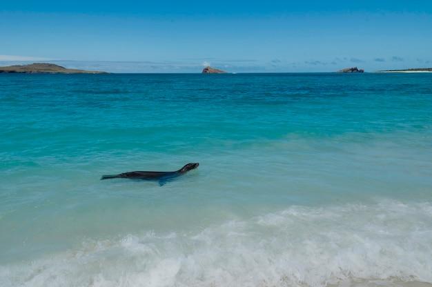 Otarie des galapagos (zalophus californianus wollebacki) nageant dans l'océan, baie de gardner, île d'espanola, îles galapagos, équateur