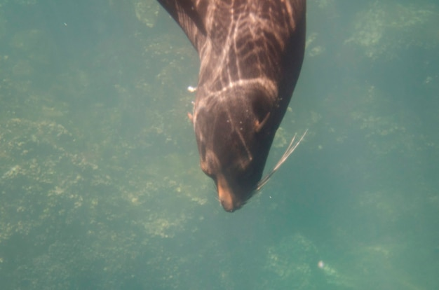 Otarie de galapagos (zalophus californianus wollebacki) nageant sous l'eau, darwin bay, île genovesa, îles galapagos, équateur