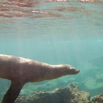 Otarie des galapagos (zalophus californianus wollebacki) nageant sous l'eau, île bartolome, îles galapagos, equateur