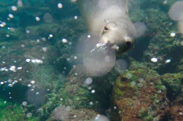 Otarie de galapagos (zalophus californianus wollebacki) nageant sous l'eau, île de san cristobal, îles galapagos, équateur