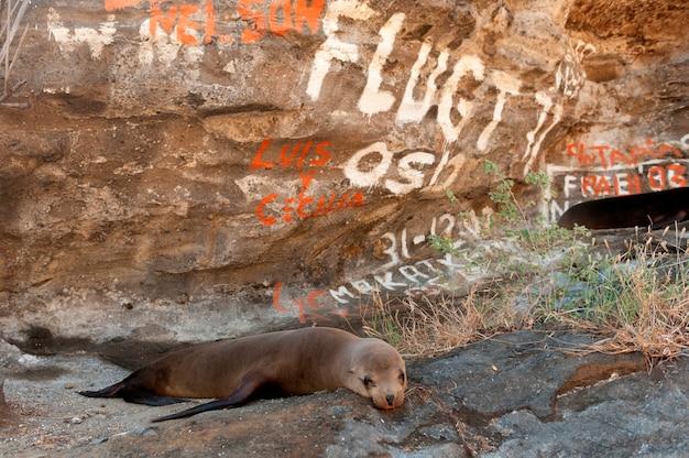 Otarie des galapagos (zalophus californianus wollebacki) près de la roche couverte de graffitis, de l'anse du tage, de l'île isabela, des îles galapagos, en équateur