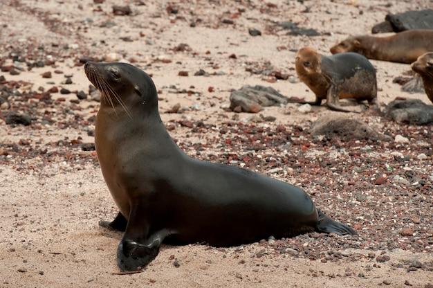 Otarie de galapagos (zalophus californianus wollebacki), puerto baquerizo moreno, île san cristobal, îles galapagos, équateur