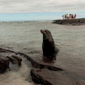 Otarie de galapagos (zalophus californianus wollebacki), punta espinoza, île fernandina, îles galapagos, équateur