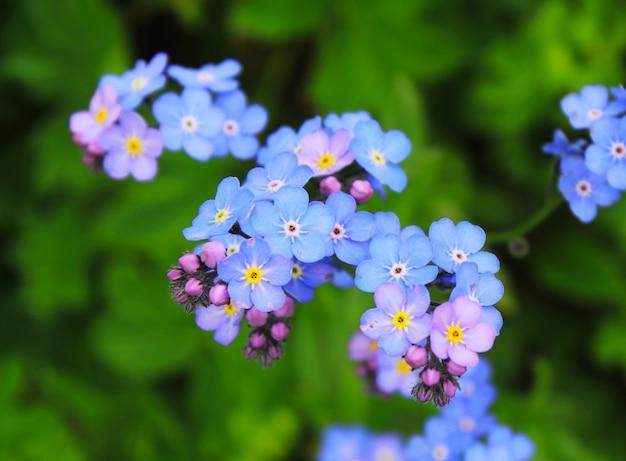 Oubliez-moi pas de tête de fleurs macro et gros plan en géorgie. nature et surface floue. bokeh.