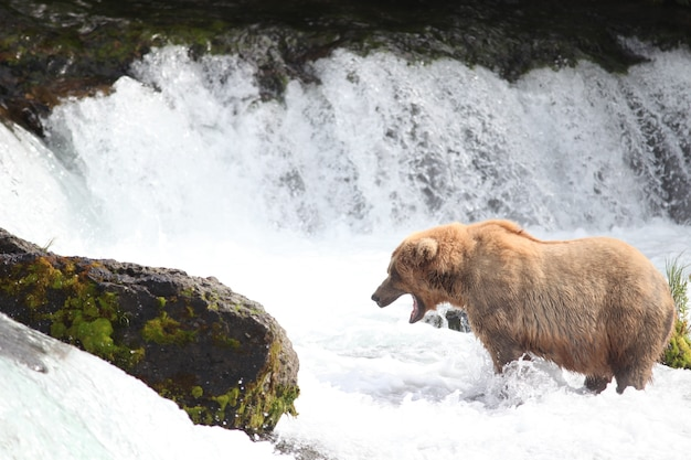 Ours brun attrapant un poisson dans la rivière en alaska