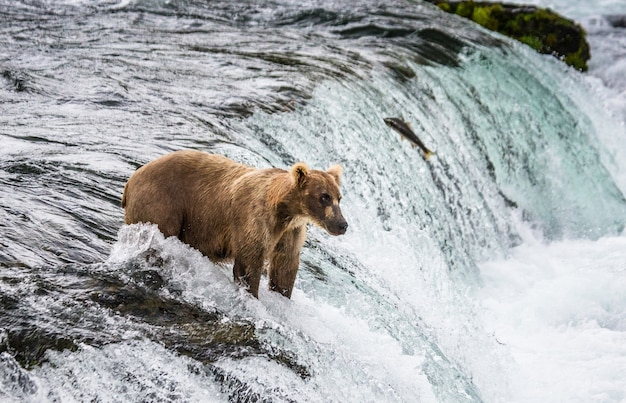 L'ours brun attrape un saumon dans la rivière. etats-unis. alaska. parc national de katmai.