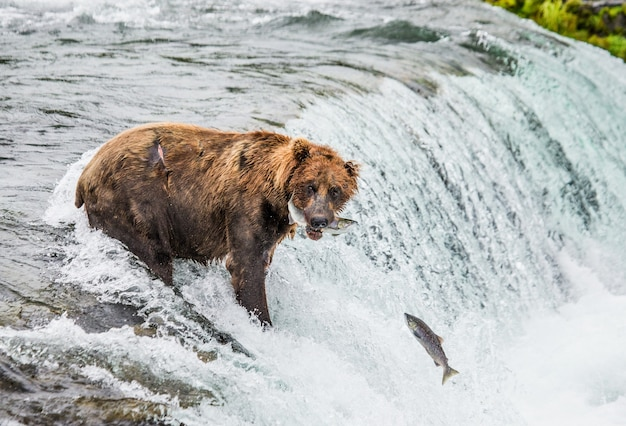 L'ours brun attrape un saumon dans la rivière