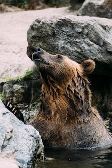 Ours brun au zoo du bronx. new york