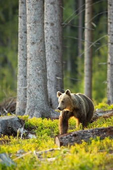 Ours brun à côté rétroéclairé par le soleil du matin dans la forêt d'épinettes au printemps