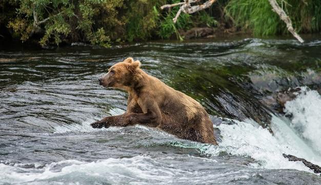 L'ours brun court dans l'eau de la rivière
