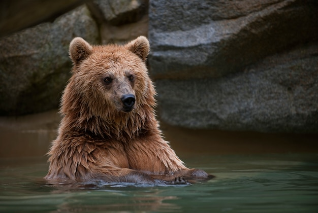Ours brun dans une piscine