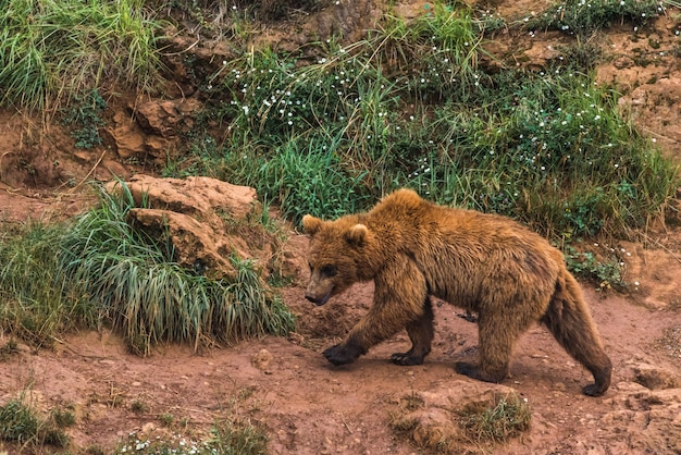 Ours brun dans une réserve naturelle