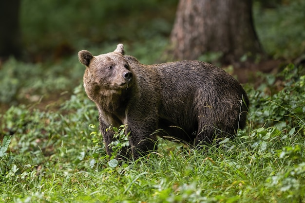 Ours brun debout dans les bois dans la nature estivale