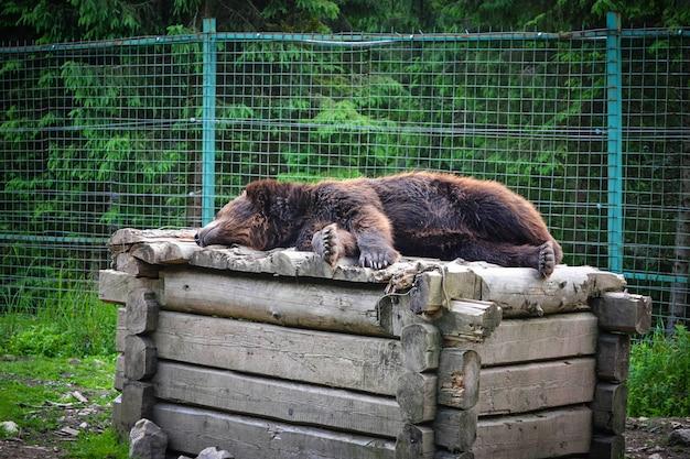 Ours brun dormant sur une boîte en bois