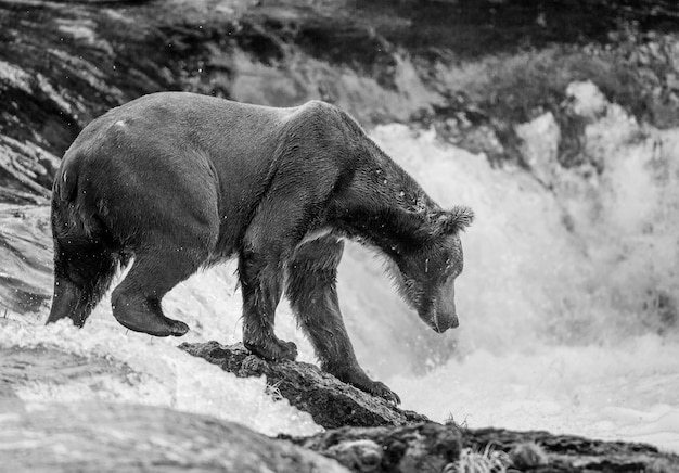 L'ours brun est debout sur un rocher au milieu de la rivière