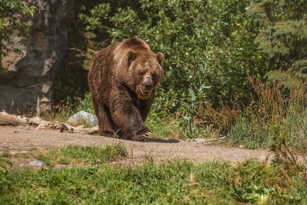 Ours brun sur la forêt