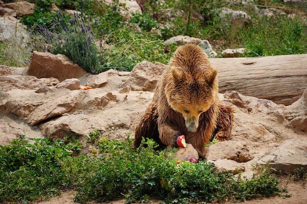 Ours brun mange une pomme