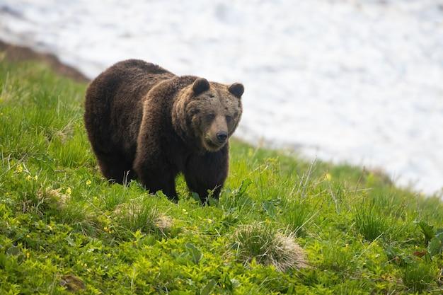 Ours brun marchant sur la colline avec de la neige en arrière-plan au printemps