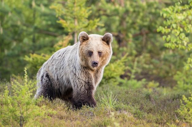 Ours brun marchant dans une lande avec espace de copie